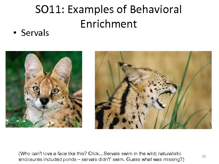 SO 11: Examples of Behavioral Enrichment • Servals (Who can't love a face like