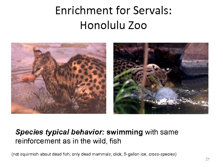 Enrichment for Servals: Honolulu Zoo Species typical behavior: swimming with same reinforcement as in