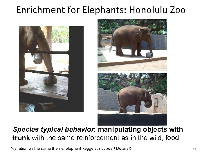 Enrichment for Elephants: Honolulu Zoo Species typical behavior: manipulating objects with trunk with the