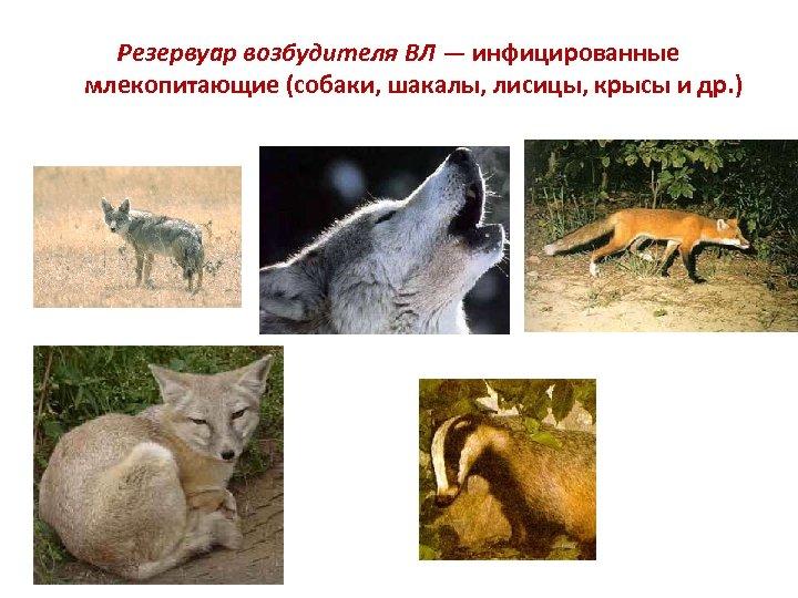 Резервуар возбудителя ВЛ — инфицированные млекопитающие (собаки, шакалы, лисицы, крысы и др. )