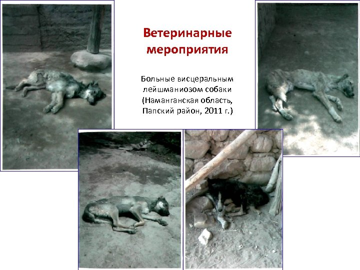 Ветеринарные мероприятия Больные висцеральным лейшманиозом собаки (Наманганская область, Папский район, 2011 г. )