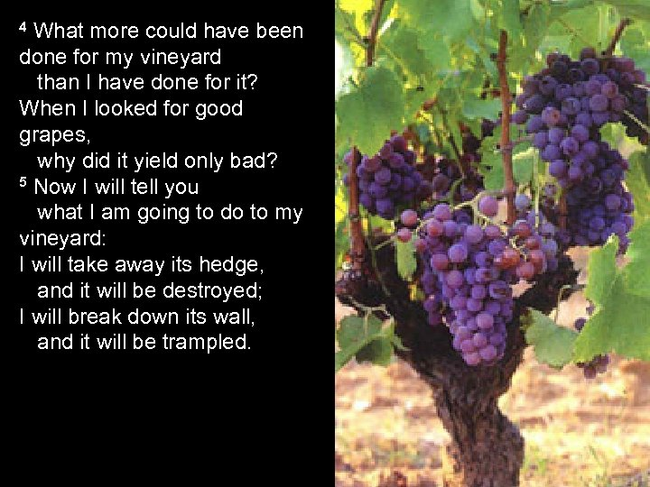 4 What more could have been done for my vineyard than I have done