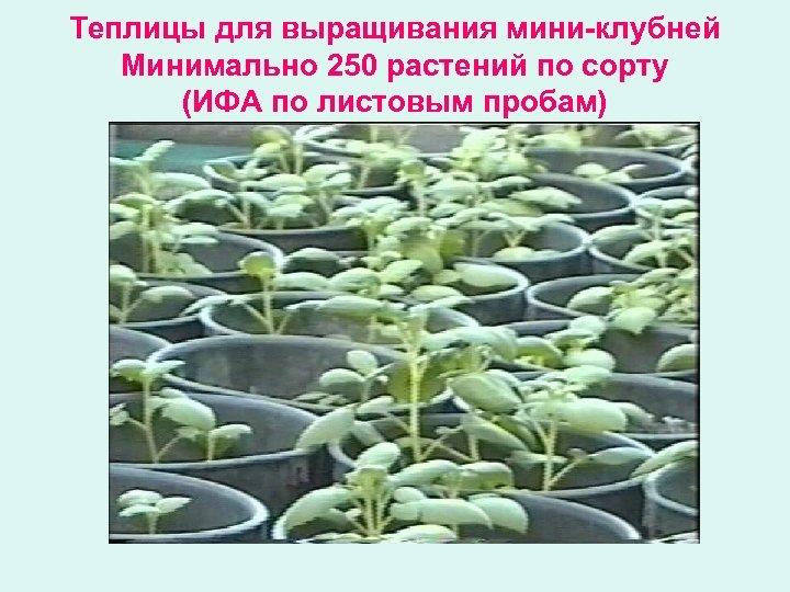Теплицы для выращивания мини-клубней Минимально 250 растений по сорту (ИФА по листовым пробам)
