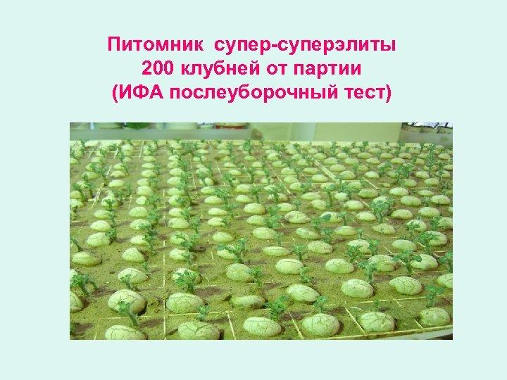 Питомник супер-суперэлиты 200 клубней от партии (ИФА послеуборочный тест)