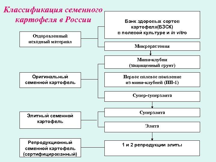 Классификация семенного картофеля в России Оздоровленный исходный материал Банк здоровых сортов картофеля(БЗСК) в полевой