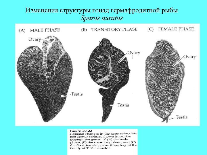 Изменения структуры гонад гермафродитной рыбы Sparus auratus