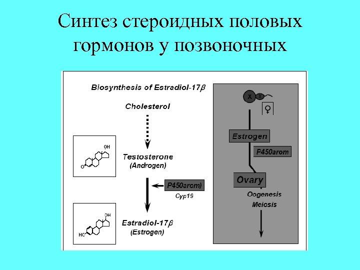 Синтез стероидных половых гормонов у позвоночных