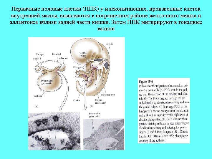 Первичные половые клетки (ППК) у млекопитающих, производные клеток внутренней массы, выявляются в пограничном районе