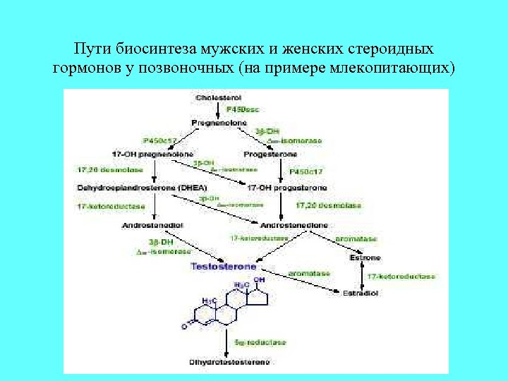 Пути биосинтеза мужских и женских стероидных гормонов у позвоночных (на примере млекопитающих)