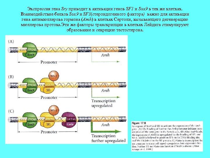 Экспрессия гена Sry приводит к активации генов SF 1 и Sox 9 в тех