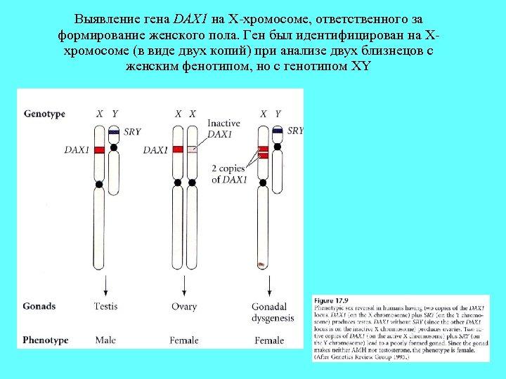 Выявление гена DAX 1 на X-хромосоме, ответственного за формирование женского пола. Ген был идентифицирован