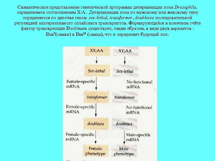 Схематическое представление генетической программы детерминации пола Drosophila, определяемое соотношением X: A. Детерминация пола по
