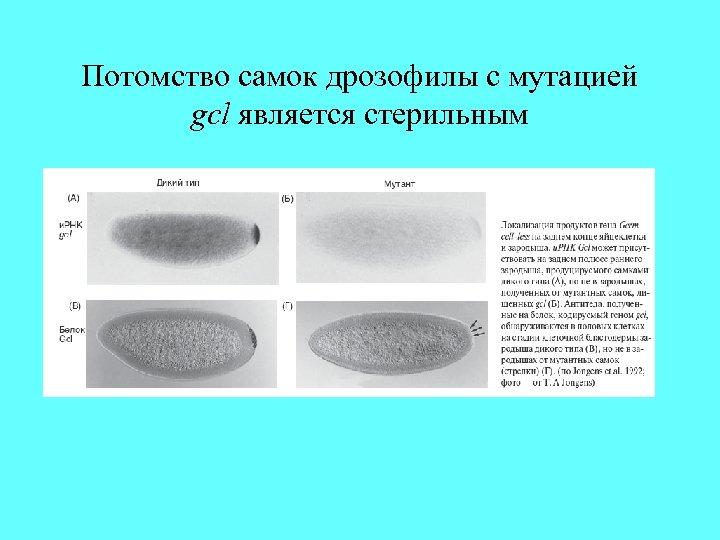 Потомство самок дрозофилы с мутацией gcl является стерильным