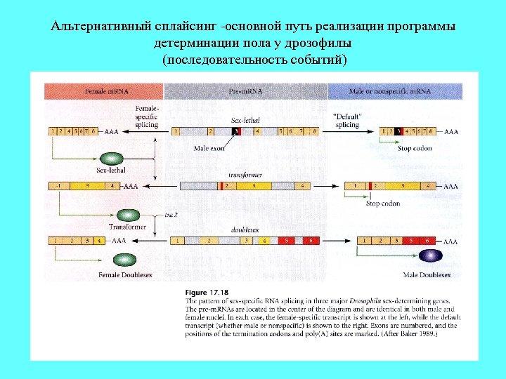 Альтернативный сплайсинг -основной путь реализации программы детерминации пола у дрозофилы (последовательность событий)