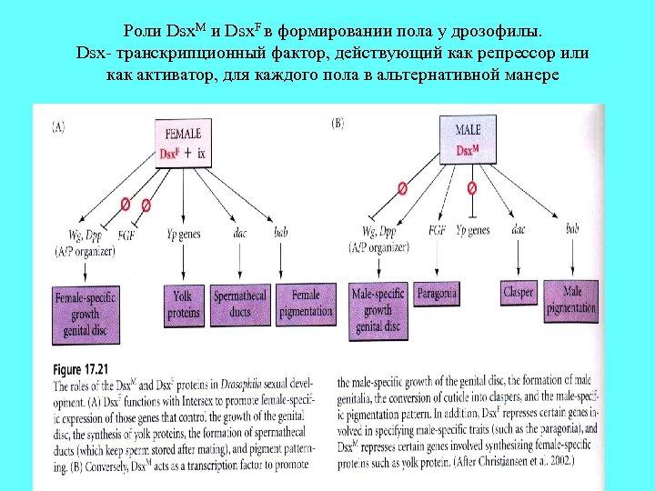 Роли Dsx. M и Dsx. F в формировании пола у дрозофилы. Dsx- транскрипционный фактор,