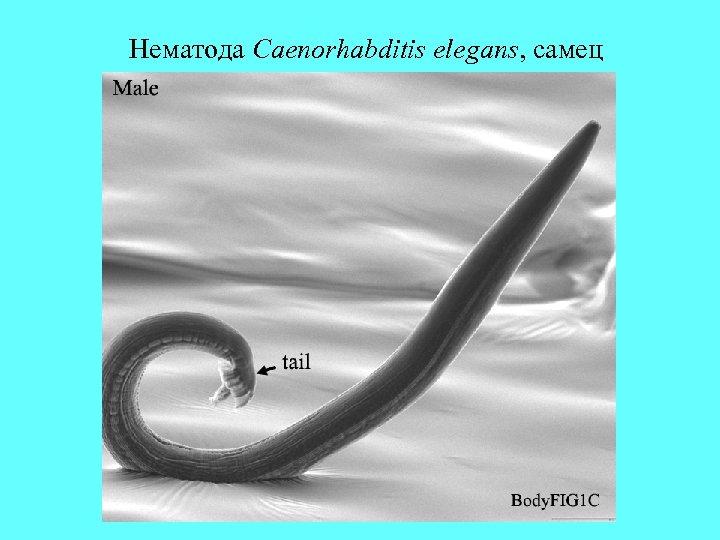 Нематода Сaenorhabditis elegans, самец