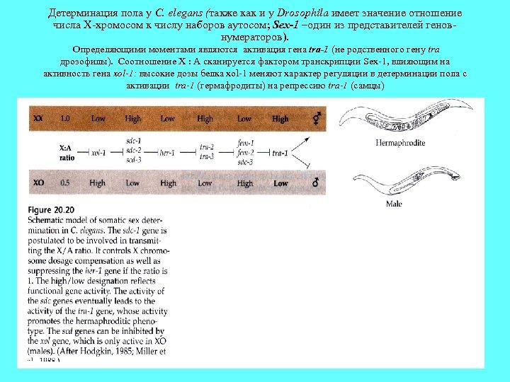 Детерминация пола у С. elegans (также как и у Drosophila имеет значение отношение числа
