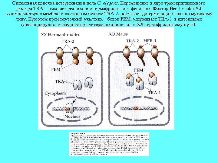 Сигнальная цепочка детерминации пола C. elegans. Перемещение в ядро транскрипционного фактора TRA-1 означает реализацию