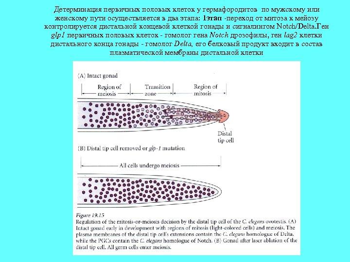 Детерминация первичных половых клеток у гермафородитов по мужскому или женскому пути осуществляется в два