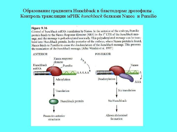 Образование градиента Hunchback в бластодерме дрозофилы. Контроль трансляции м. РНК hunchback белками Nanos и