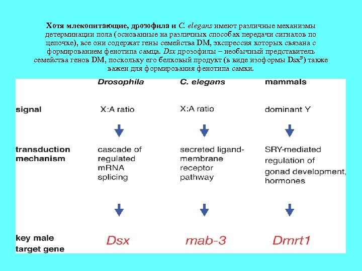 Хотя млекопитающие, дрозофила и C. elegans имеют различные механизмы детерминации пола (основанные на различных