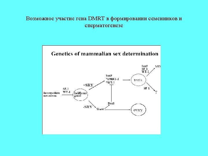 Возможное участие гена DMRT в формировании семенников и сперматогенезе