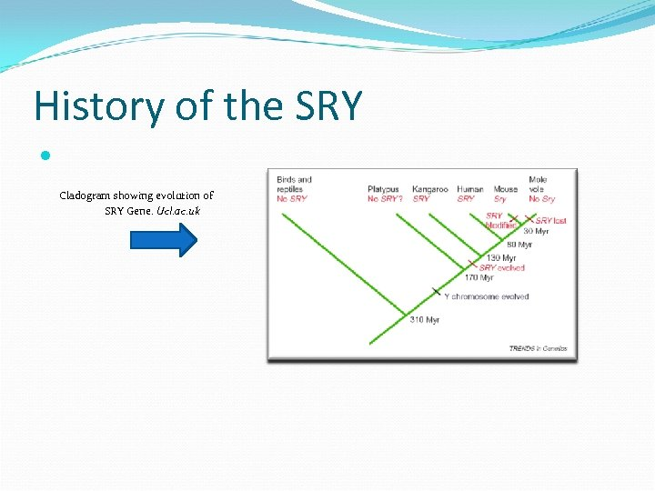 History of the SRY Cladogram showing evolution of SRY Gene. Ucl. ac. uk