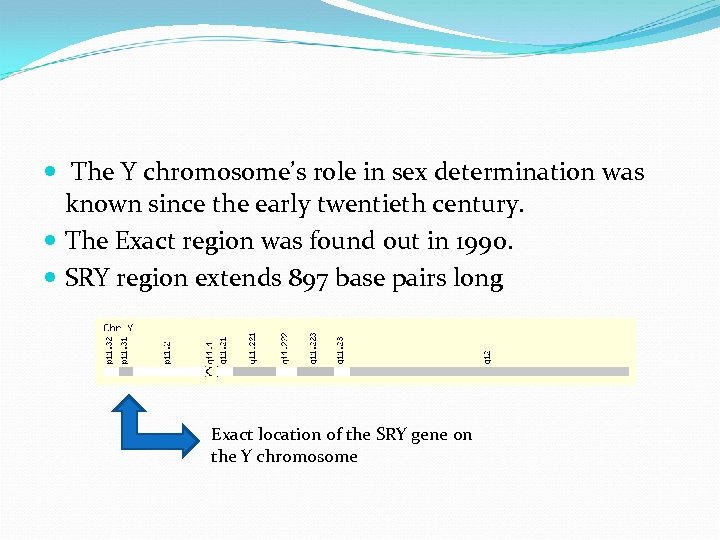 The Y chromosome's role in sex determination was known since the early twentieth