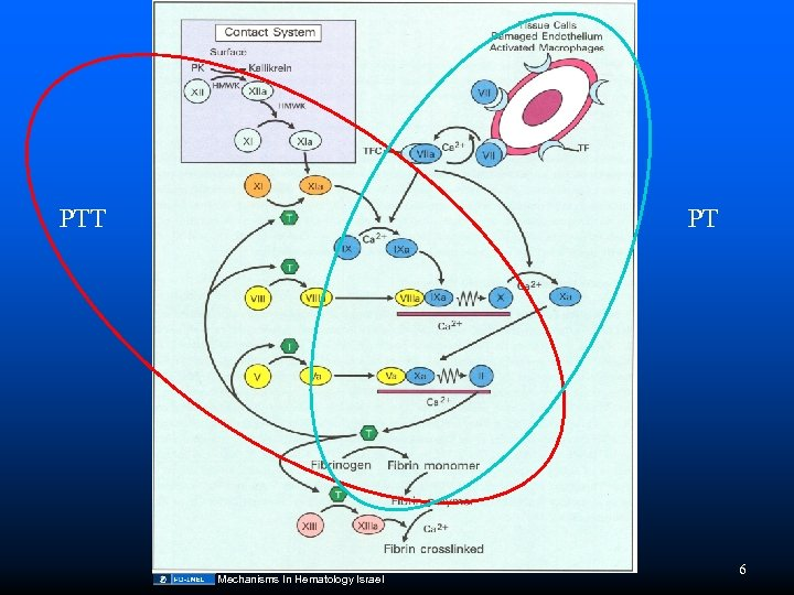 PTT PT Mechanisms In Hematology Israel 6