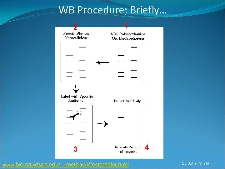 WB Procedure; Briefly… 2 1 3 www. bio. davidson. edu/. . . /method/Westernblot. html