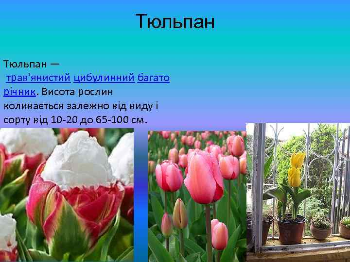 Тюльпан — трав'янистий цибулинний багато річник. Висота рослин коливається залежно від виду і сорту