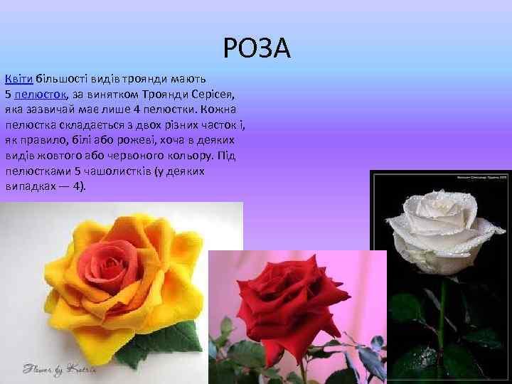 РОЗА Квіти більшості видів троянди мають 5 пелюсток, за винятком Троянди Серісея, яка