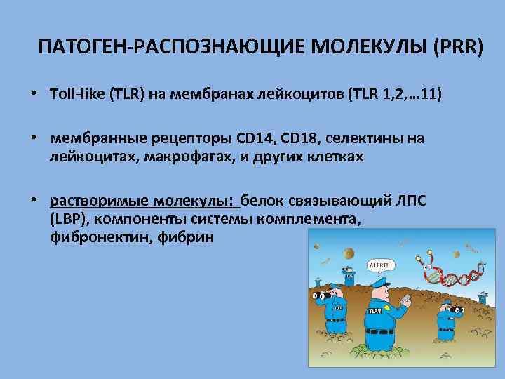 ПАТОГЕН-РАСПОЗНАЮЩИЕ МОЛЕКУЛЫ (PRR) • Toll-like (TLR) на мембранах лейкоцитов (TLR 1, 2, … 11)