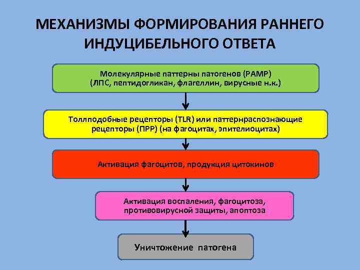 МЕХАНИЗМЫ ФОРМИРОВАНИЯ РАННЕГО ИНДУЦИБЕЛЬНОГО ОТВЕТА Молекулярные паттерны патогенов (РАМР) (ЛПС, пептидогликан, флагеллин, вирусные н.