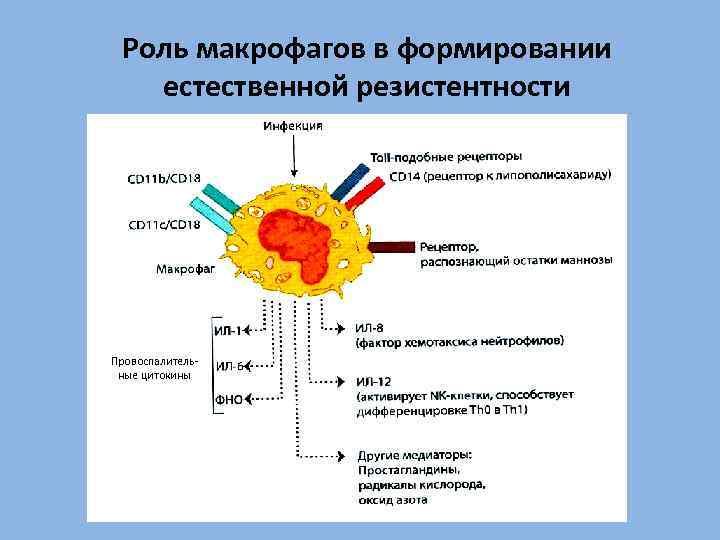 Роль макрофагов в формировании естественной резистентности Провоспалительные цитокины