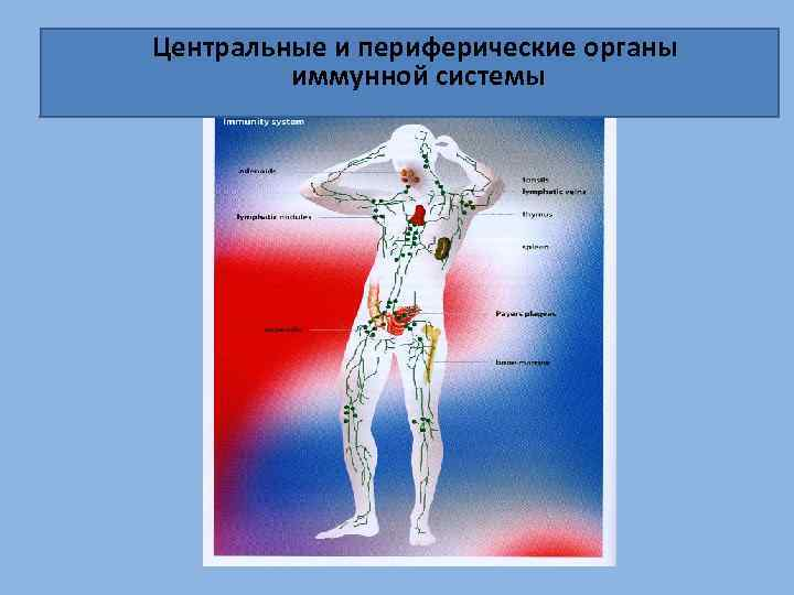 Центральные и периферические органы иммунной системы