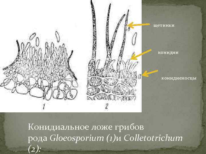 щетинки конидии конидиеносцы Конидиальное ложе грибов рода Gloeosporium (1)и Colletotrichum (2):