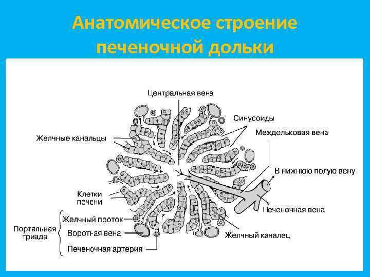 Анатомическое строение печеночной дольки