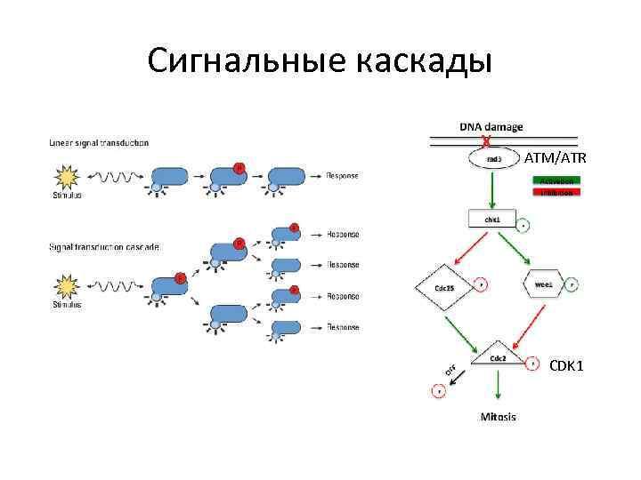 Сигнальные каскады ATM/ATR CDK 1