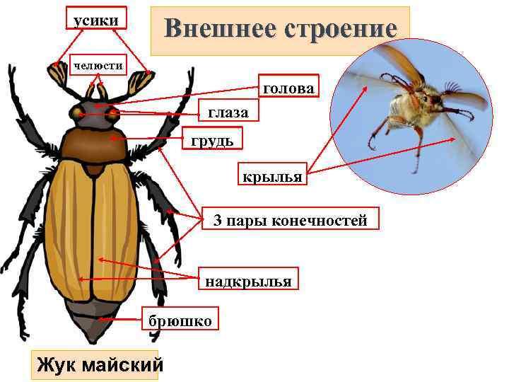 картинки части к майскому жуку это удивительнейшие живые