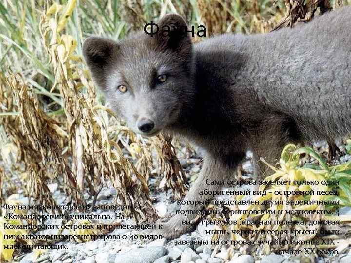 Фауна млекопитающих заповедника «Командорский» уникальна. На Командорских островах и прилегающей к ним акваториизарегистрирова о