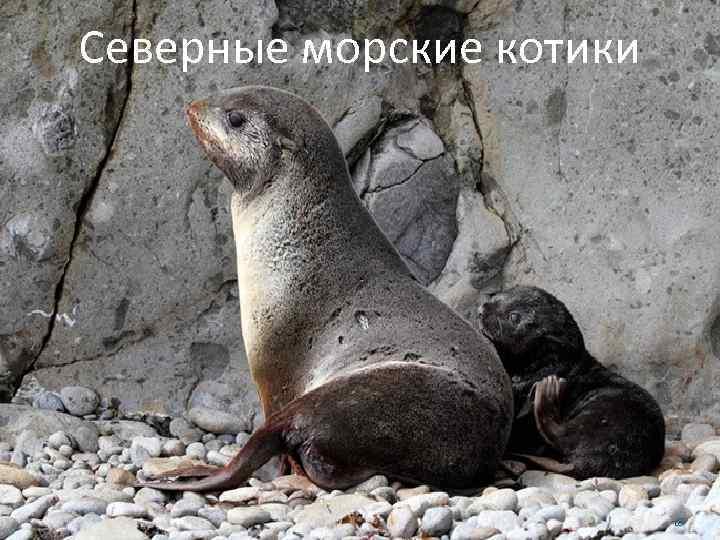 Северные морские котики 18