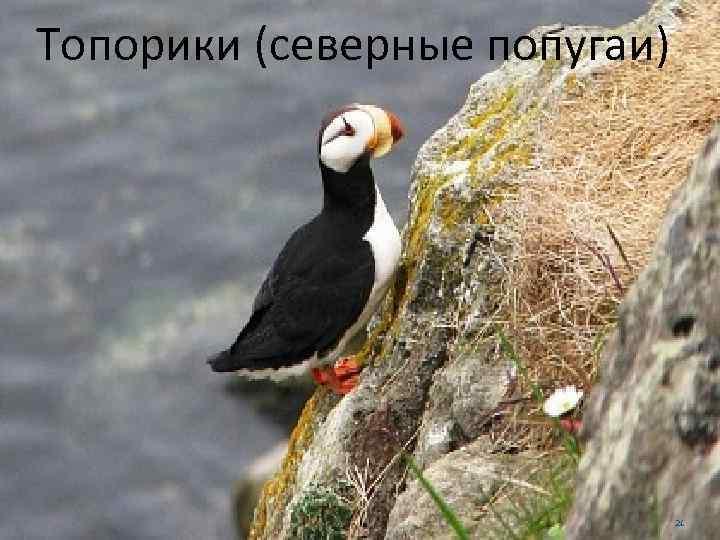 Топорики (северные попугаи) 21