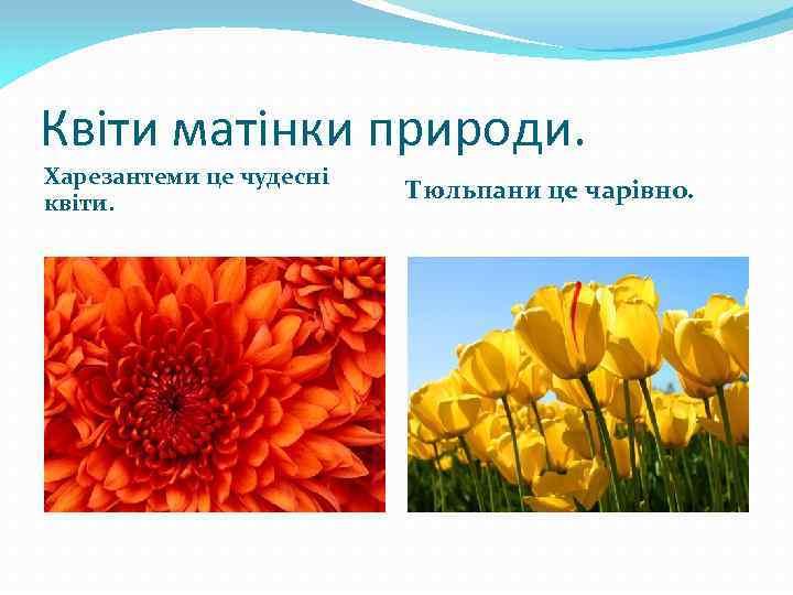 Квіти матінки природи. Харезантеми це чудесні квіти. Тюльпани це чарівно.