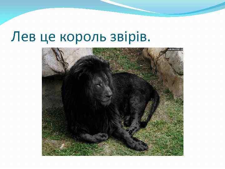 Лев це король звірів.