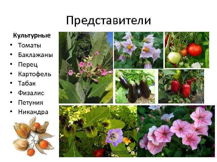 Картинки двудольных растений