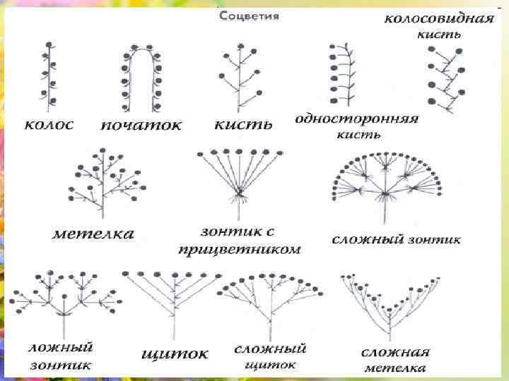 Соцветия генеративные Соцветия – это группы цветков, расположенных близко один к другому в определенном
