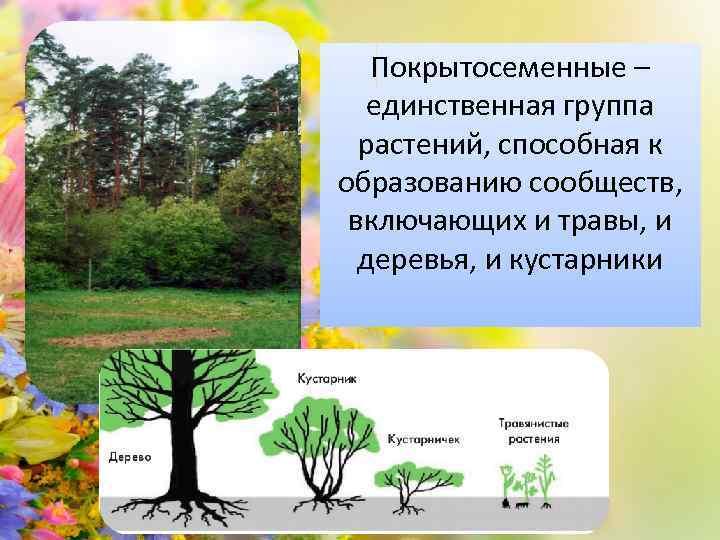 Покрытосеменные – единственная группа растений, способная к образованию сообществ, включающих и травы, и деревья,
