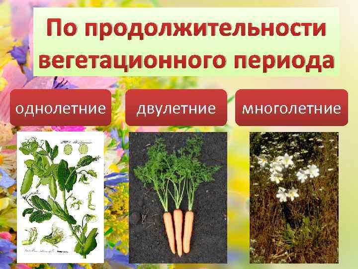 По продолжительности вегетационного периода однолетние двулетние многолетние