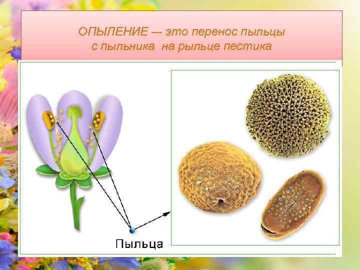 ОПЫЛЕНИЕ –- это перенос пыльцы с пыльника на рыльце пестика